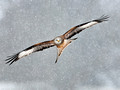 Red kite in a blizzard