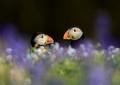 Puffins in spring flora