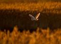 Barn owl at Cley